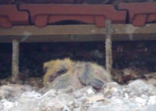 גוזל יונים בגג רעפים