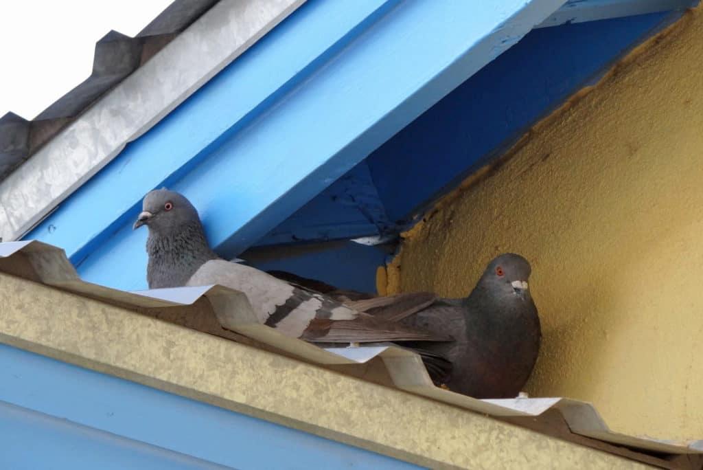 pigeons2 (1)